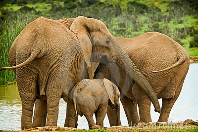 Elephant family at a water hole