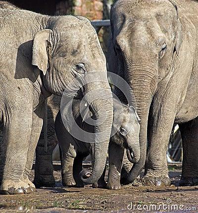 Free Elephant Family With Baby Royalty Free Stock Photos - 1931038