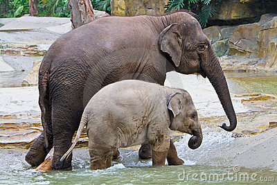 Elephant familys walking in river