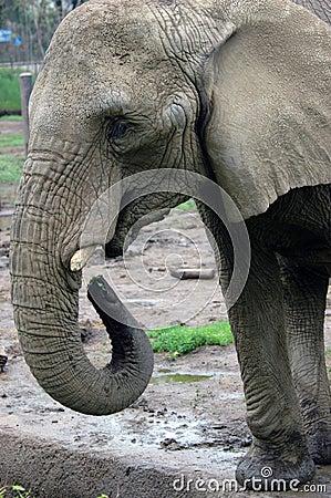 Free Elephant Feeding Stock Images - 2419124