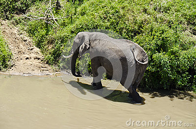 Elephant feeding at riverbank