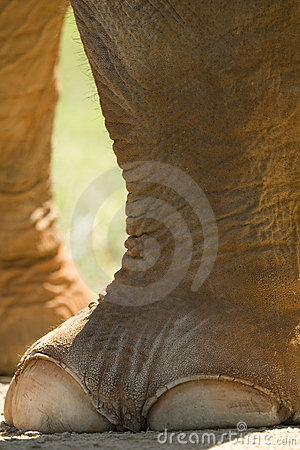 Free Elephant Foot Stock Photography - 5218142