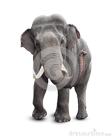 Free Elephant Front View  With Clipping Path Royalty Free Stock Images - 30116519