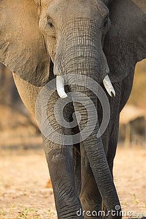 Free Elephant Gait Royalty Free Stock Photos - 40175388