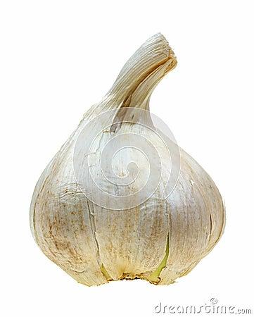 Elephant garlic bulb