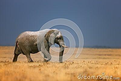 Elephant in grassfield