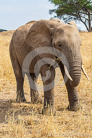 Elephant grazing