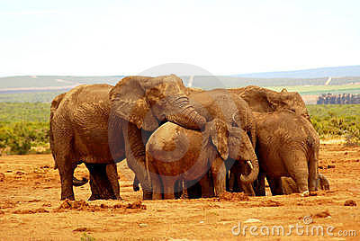 Elephant group hug