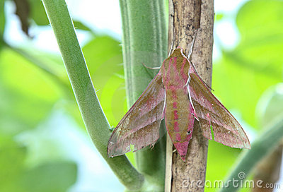 Elephant Hawk moth, Deilephilia elpenor.