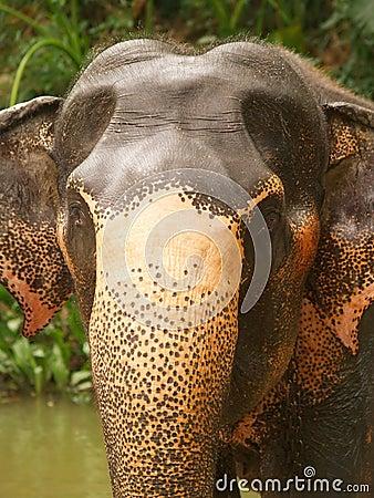 Elephant head, Sri Lanka