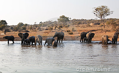Elephant herd drink at waterhole