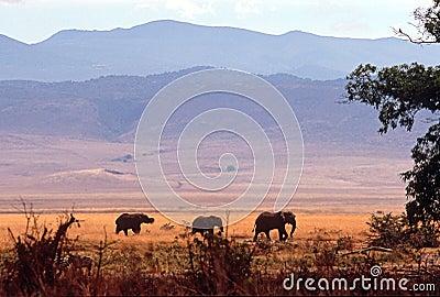 Elephant herd, Ngorongoro Crater, Tanzania