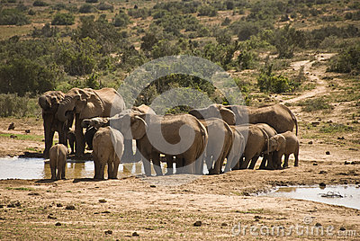 Elephant herd at water hole