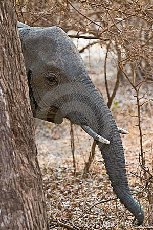 Elephant hiding behind tree