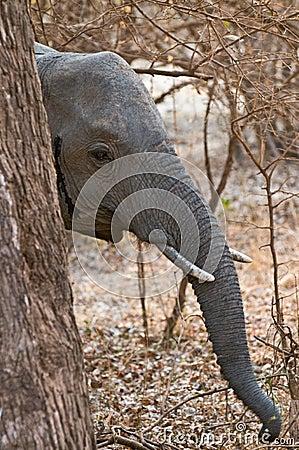 Elephant hiding behind tree