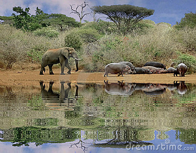 Elephant and hippos