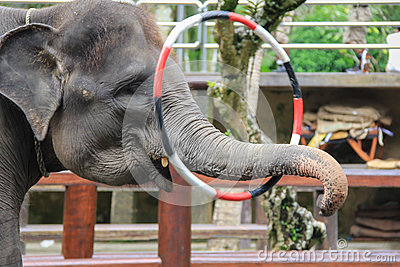 Elephant Hula Hoops with his Trunk