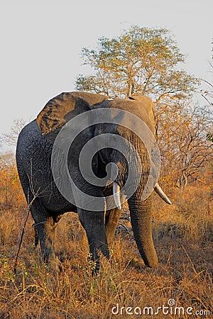 Free Elephant In Sabi Sands Stock Image - 5721911