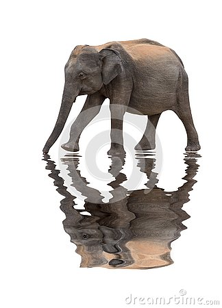 Elephant isolated with a reflection of water Stock Photo