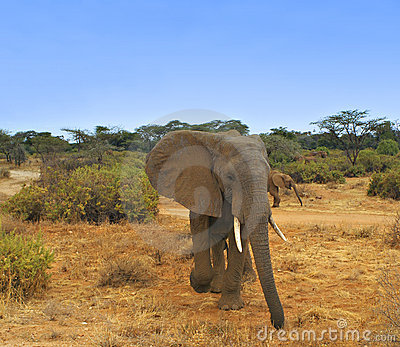 Elephant on Kenya Grasslands, Africa