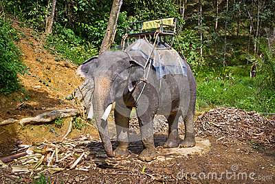 Elephant in Khao Sok National Park