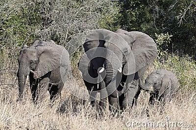 Elephant in krugerg park