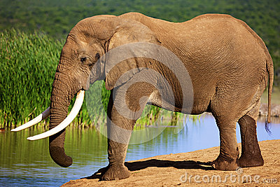 Elephant with large tusks at waterhole