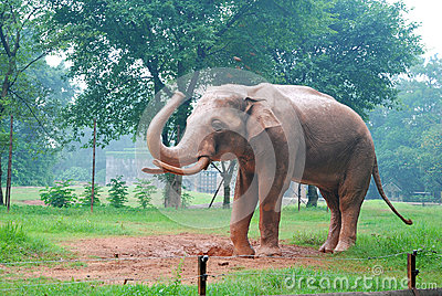 Elephant on the lawn