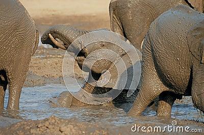Elephant lying in mud