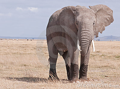 Elephant on the Masai Mara