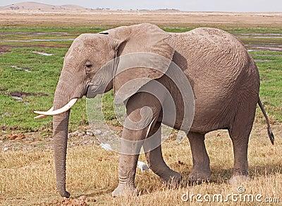 Elephant on the Masai Mara
