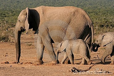 Elephant Mother and Children