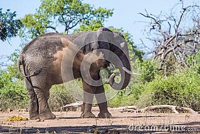 Elephant mud bath in Botswana