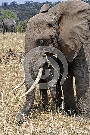 Elephant mum protecting her baby