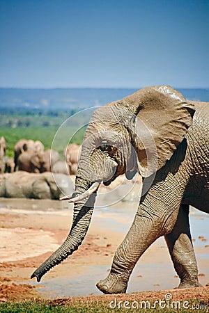 Elephant near pool walking by