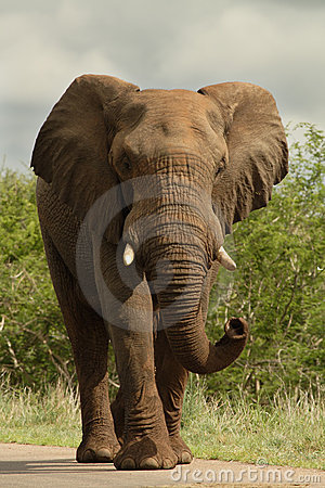 Free Elephant On Road Royalty Free Stock Images - 2291809