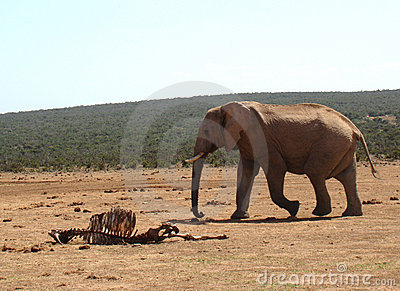 Elephant passing by a carcass