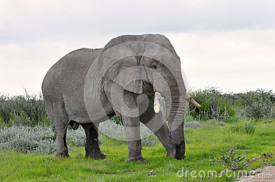 Elephant on pasture
