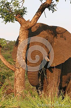 Free Elephant Peeking Behind Tree Royalty Free Stock Image - 5232856