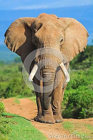 Free Elephant Portrait Stock Image - 967391