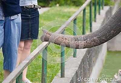 Elephant proboscis