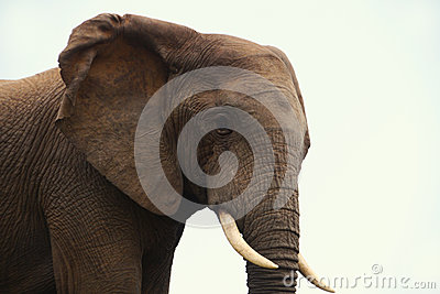 Elephant in profile
