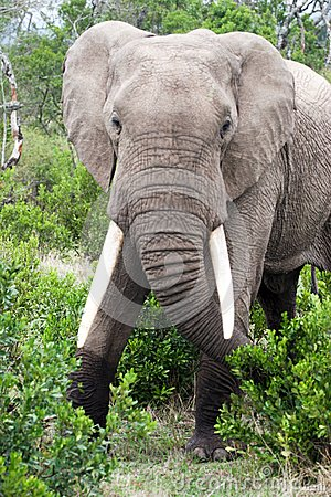 Elephant in the reserve