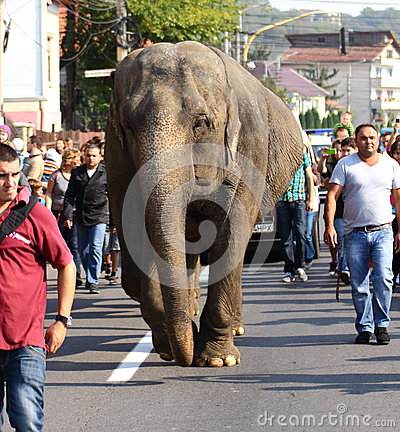 Elephant on the road Editorial Photography