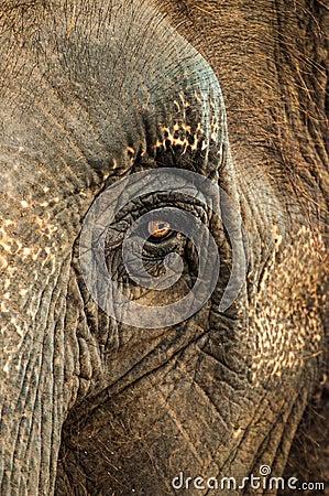 Elephant s eye