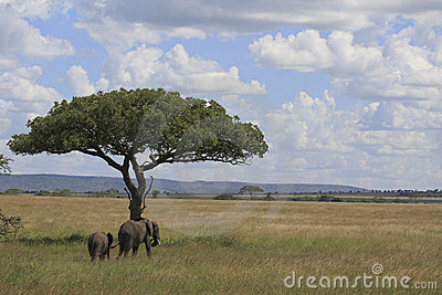 Elephant s in the serengeti