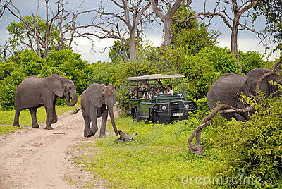 Elephant safari(Botswana) Editorial Stock Photo