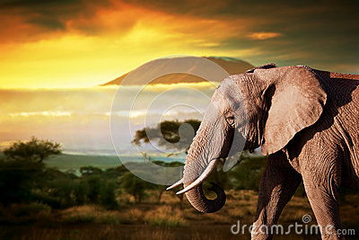 Elephant on savanna. Mount Kilimanjaro at sunset