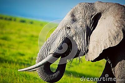 Elephant on savanna. Safari in Amboseli, Kenya, Africa