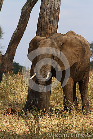 Elephant Scratching Post